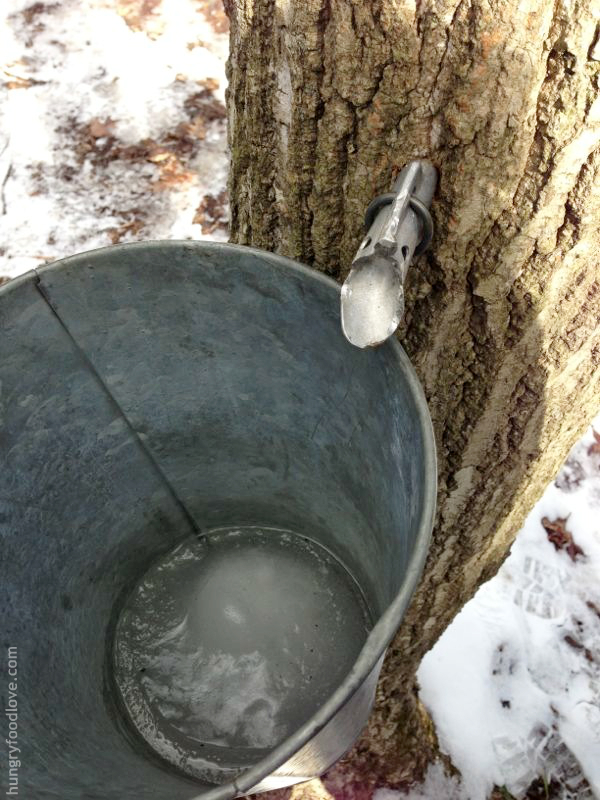 New York Maple Weekend - Sap from Maple Tree